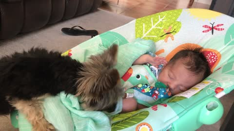 Yorkie preciously covers baby with blanket