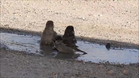 Bird Bath In Parking Lot Puddle