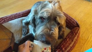 Dog dying of cancer gets pumpkin spice coffee in bed