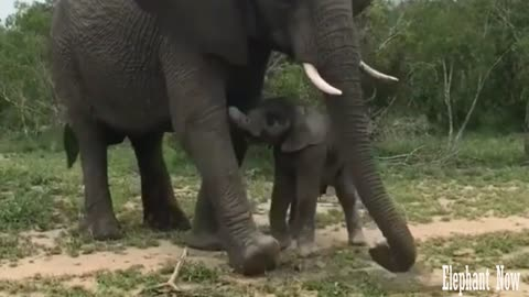 Elephant Throws Dirt On His Little Boy.
