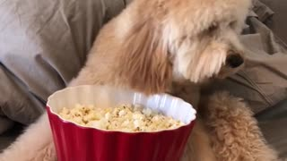 Just a dog eating popcorn  - Video