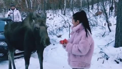 An incredibly friendly moose absolutely loves human company