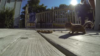 Chipmunks love peanuts! Our buddy Freddie! - Video