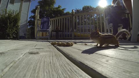 Chipmunks love peanuts! Our buddy Freddie!