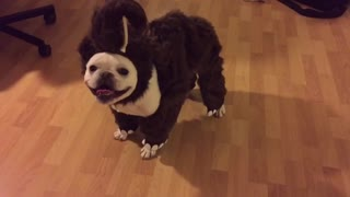 French Bulldog models adorable mammoth costume - Video