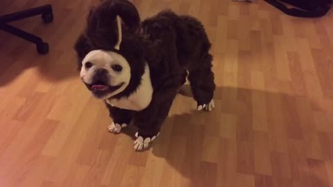 French Bulldog models adorable mammoth costume