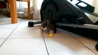 Energetic kitten plays a top football match!
