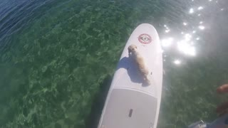 Paddle boarding with a puppy in the Great Barrier Reef  - Video