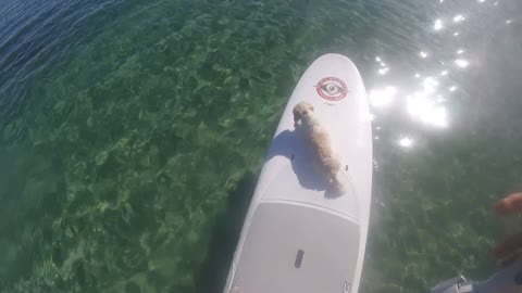Paddle boarding with a puppy in the Great Barrier Reef