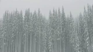 A winter storm with tall trees moving around