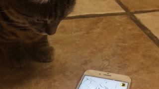 Gray cat trying to get bug on cellphone app - Video