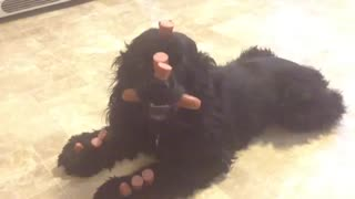 Cocker Spaniel dog shows off amazing tricks