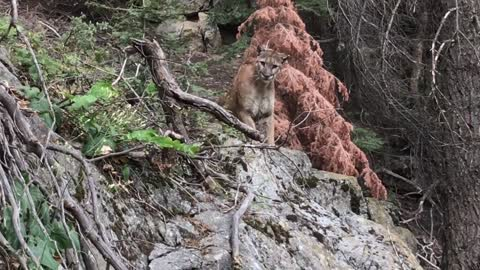 Watch A Couple Hikers Hikers Come Face To Face With A Cougar