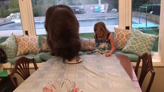 Huge Newfoundland finishes birthday steak in seconds