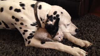 Caring Dalmatian snuggles with kitten