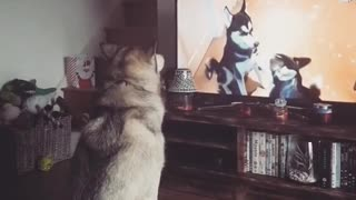 Husky howls along to howling huskies on TV