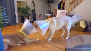 Cheerful dogs manage to play tug-of-war despite wearing cones