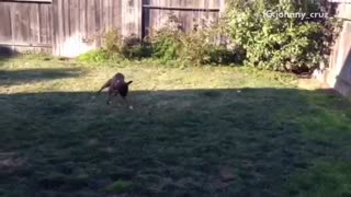 Brown dog running around and playing fetch by himself