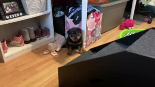 Sassy 3-Legged-Rottweiler Puppy Conquers The Stairs