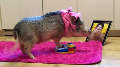 "Mini Pig ""Superstar"" Decides To Perform Concert"