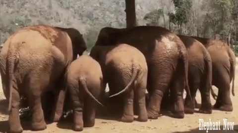 Group Elephants Move Tail When Dining