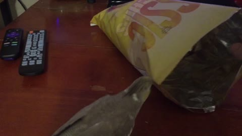 Cockatiel claims entire bag of potato chips as her own