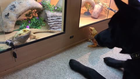 Pup gets so confused over bearded dragon's behavior