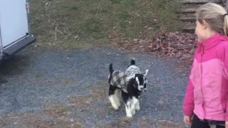 Baby Goats in Coats - Video