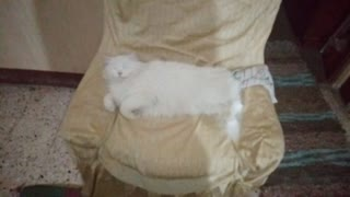 Adorable White Cat Sleeping On Coach