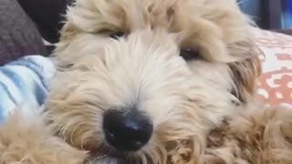 A brown dog that looks like a teddy bear - Video