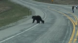 Traffic Waits for Grizzly Bear Family