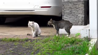 Cats Fighting and screaming