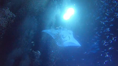 INSANE!! Diving with Manta Rays! 🤙🤙