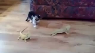 Cat scared about some lizards - Video