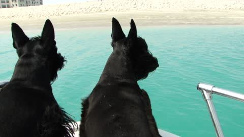 Scottish Terriers jump off boat to chase waves