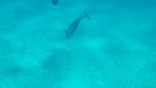 Dugong and Dolphin Play Together