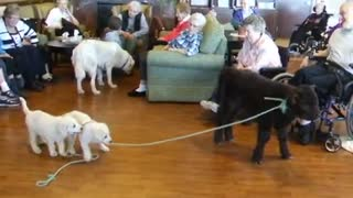 Guard dog puppies demonstrate how to lead a calf