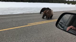 Beautiful Bears Out for a Stroll