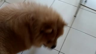 Fluffy brown dog plays on white tile floor - Video