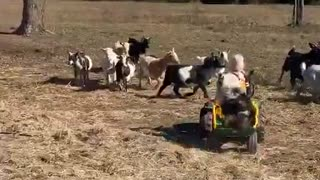 Little Girl and Her Dog Help Herd the Goats