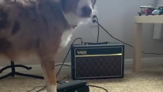 Aussie pup loves to sing the blues