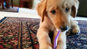 Golden Retriever puppy brushes her teeth - Video