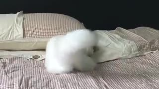 Angora cat is time for a game - Video