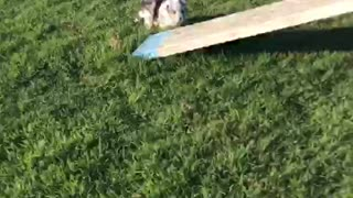 Play time with cute puppy  - Video