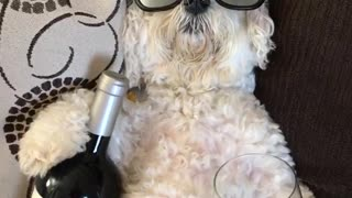 White dog wearing glasses and holding wine - Video