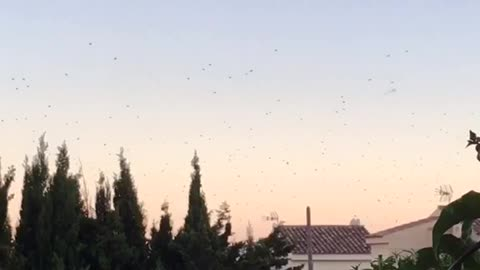 Thousands of Birds going crazy! In Catalonia spain