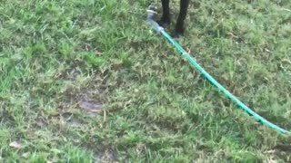 Black dog with red collar in backyard playing with water hose