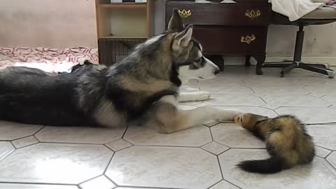 Husky enjoys talking to ferret