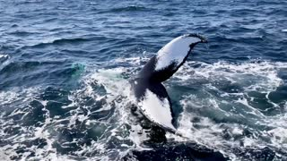 Humpback Whales Put on a Show for Whale-Watching Tour