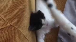 Small white kitten trying to catch big white cats tail - Video